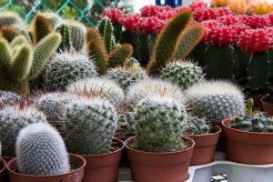 Kaktusz fajták kategória