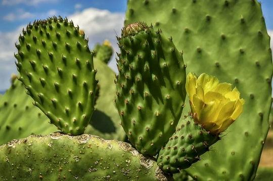 Medvetalp kaktusz