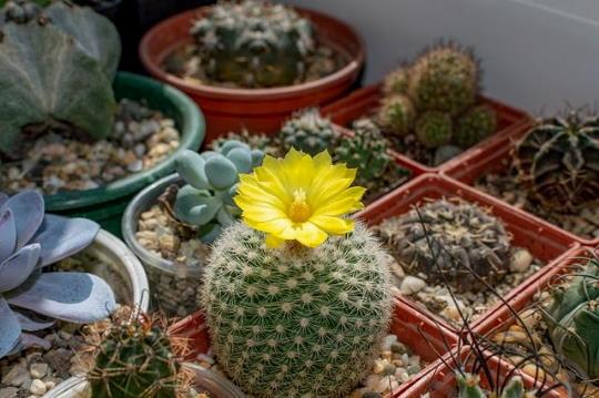 Kaktusz fajták