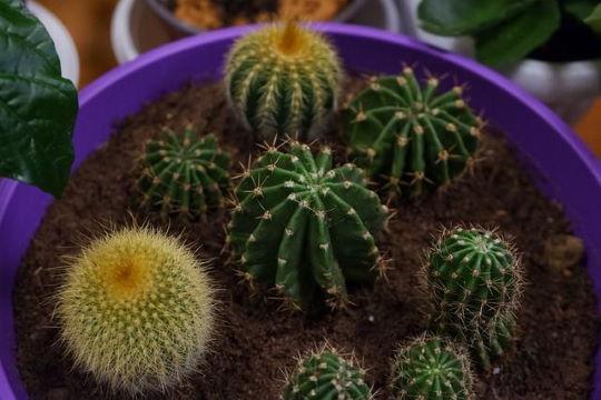 Kaktusz szaporítása