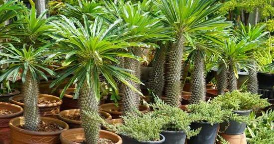 Kaktuszpálma