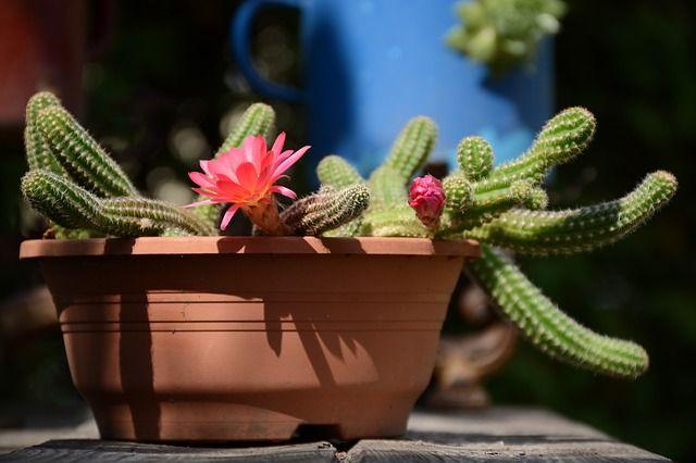 Kukackaktusz