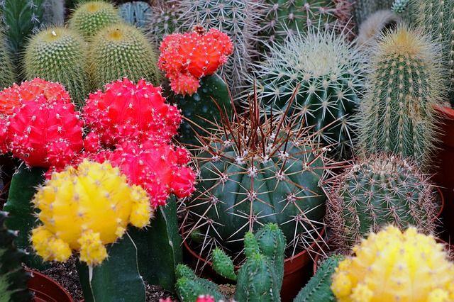 Különleges kaktuszok